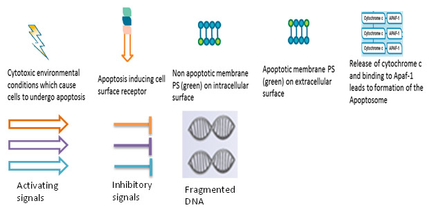 what is an example of apoptosis