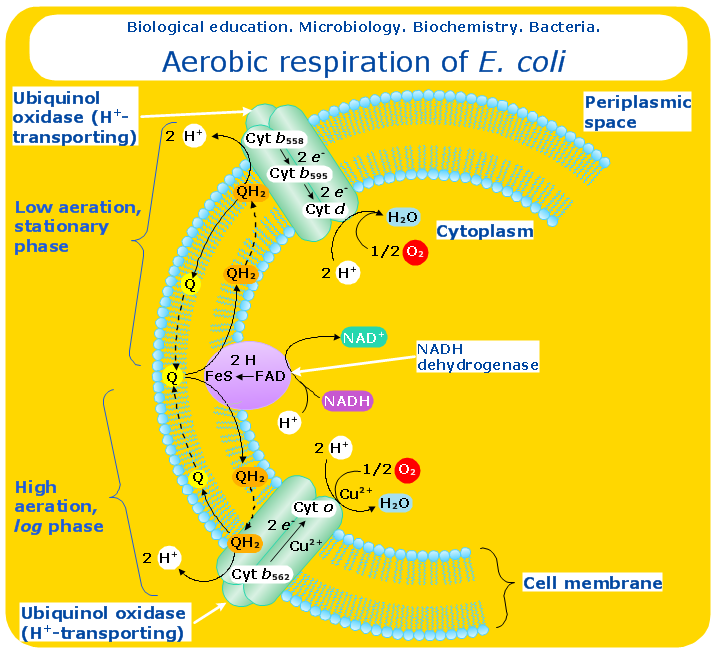 cellular respiration is an example of this metabolic pathway